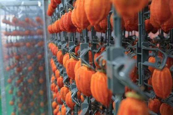 Sấy treo trái hồng Đà Lạt theo công nghệ Nhật Bản ảnh 10