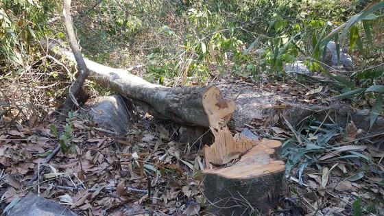 Bắt quả tang 3 đối tượng phá rừng ở Đà Lạt ảnh 4