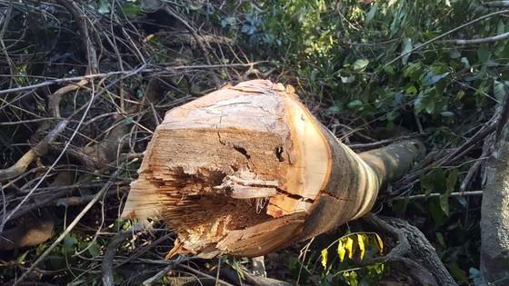Bắt quả tang 3 đối tượng phá rừng ở Đà Lạt ảnh 3