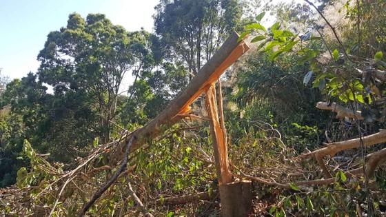 Bắt quả tang 3 đối tượng phá rừng ở Đà Lạt ảnh 2