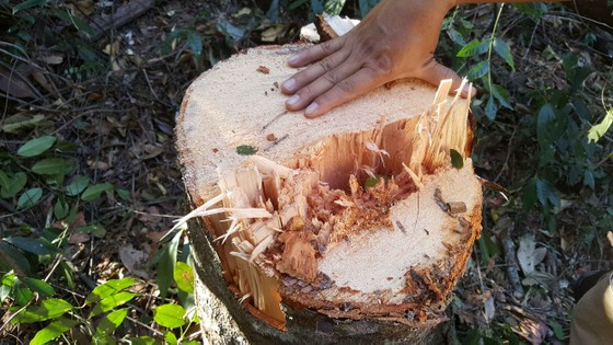 Bắt quả tang 3 đối tượng phá rừng ở Đà Lạt ảnh 5
