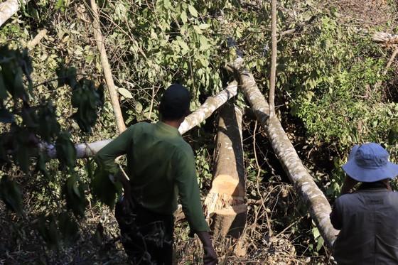 Bắt quả tang 3 đối tượng phá rừng ở Đà Lạt ảnh 1