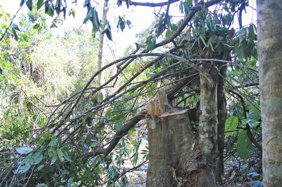 Bắt quả tang 3 đối tượng phá rừng ở Đà Lạt ảnh 6