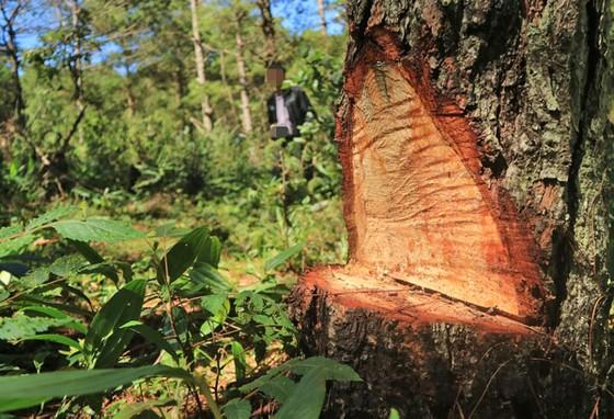 Điều tra vụ 'đầu độc' rừng thông dưới chân núi Langbiang ảnh 1