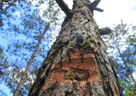 Điều tra vụ 'đầu độc' rừng thông dưới chân núi Langbiang ảnh 2