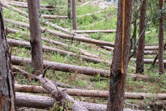Rừng thông tại Lâm Đồng tiếp tục bị đốn hạ hàng loạt ảnh 3