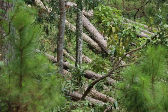 Rừng thông tại Lâm Đồng tiếp tục bị đốn hạ hàng loạt ảnh 8