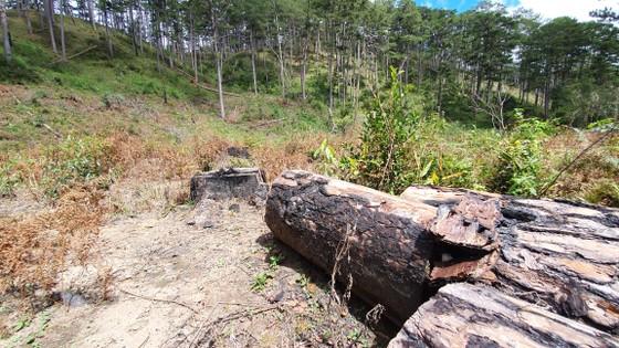 Rừng thông tại Lâm Đồng tiếp tục bị đốn hạ hàng loạt ảnh 9