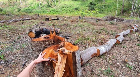 Rừng thông tại Lâm Đồng tiếp tục bị đốn hạ hàng loạt ảnh 7