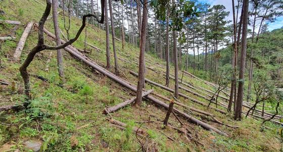 Rừng thông tại Lâm Đồng tiếp tục bị đốn hạ hàng loạt ảnh 2
