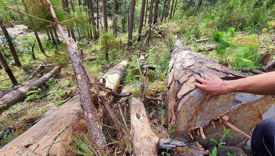 Rừng thông tại Lâm Đồng tiếp tục bị đốn hạ hàng loạt ảnh 4