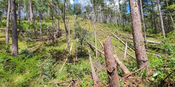Rừng thông tại Lâm Đồng tiếp tục bị đốn hạ hàng loạt ảnh 1