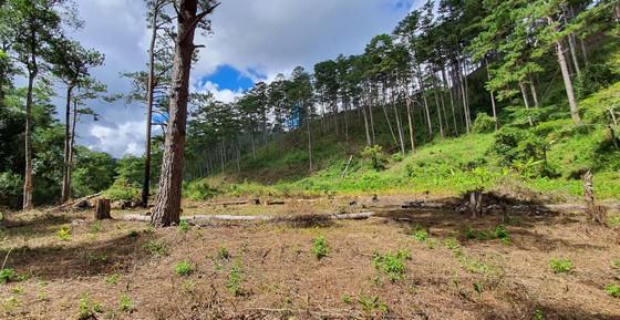 Rừng thông tại Lâm Đồng tiếp tục bị đốn hạ hàng loạt ảnh 10