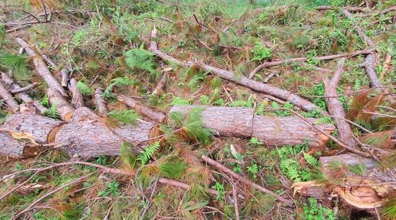 Rừng thông tại Lâm Đồng tiếp tục bị đốn hạ hàng loạt ảnh 6