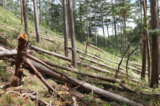 Khẩn trương điều tra vụ cưa hạ hàng loạt rừng thông cổ thụ ở Lâm Đồng ảnh 1