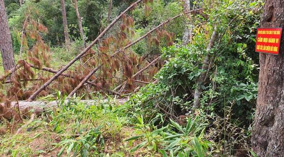 Khẩn trương điều tra vụ cưa hạ hàng loạt rừng thông cổ thụ ở Lâm Đồng ảnh 2