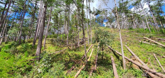 Khẩn trương điều tra vụ cưa hạ hàng loạt rừng thông cổ thụ ở Lâm Đồng ảnh 3