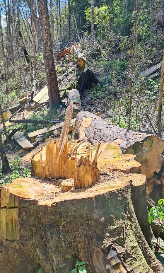 Rừng bạch tùng hơn trăm năm tuổi tại Lâm Hà, Lâm Đồng bị 'xẻ thịt' ảnh 3