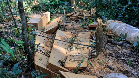 Rừng bạch tùng hơn trăm năm tuổi tại Lâm Hà, Lâm Đồng bị 'xẻ thịt' ảnh 6