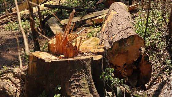 Rừng bạch tùng hơn trăm năm tuổi tại Lâm Hà, Lâm Đồng bị 'xẻ thịt' ảnh 7
