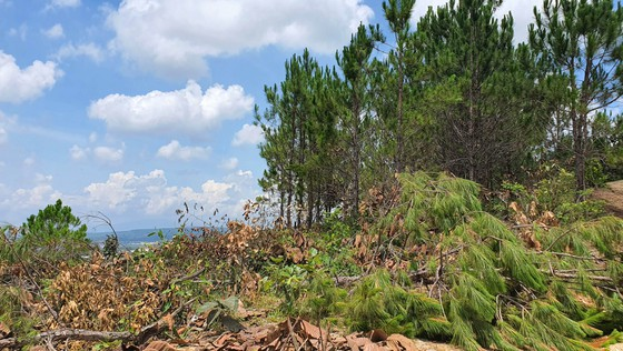 Rừng thông tại Lâm Đồng lại bị cưa hạ hàng loạt