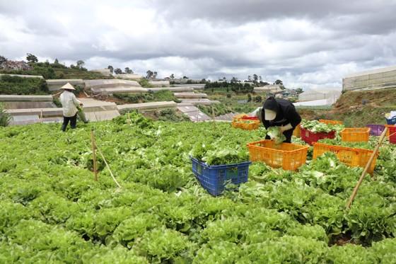 Mỗi ngày Lâm Đồng xuất 4.000 tấn rau, củ đi TPHCM ảnh 1