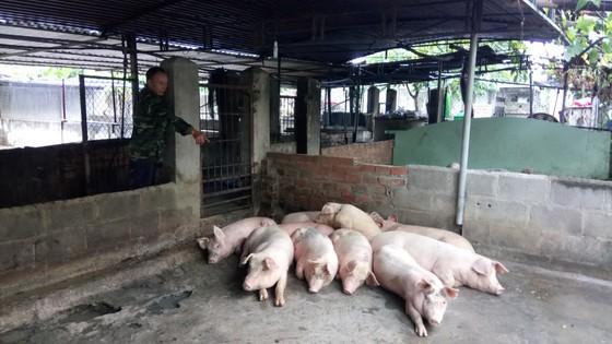 Hàng trăm con heo tại Khánh Hòa chết vì nhiễm bệnh ảnh 1