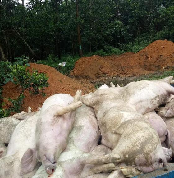 Hơn 1,2 triệu con heo đã chết vì dịch tả heo châu Phi hoành hành ảnh 2