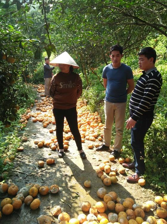 Nguyên nhân khiến hơn 8.000ha cam Hà Giang rụng lăn lóc  ảnh 2