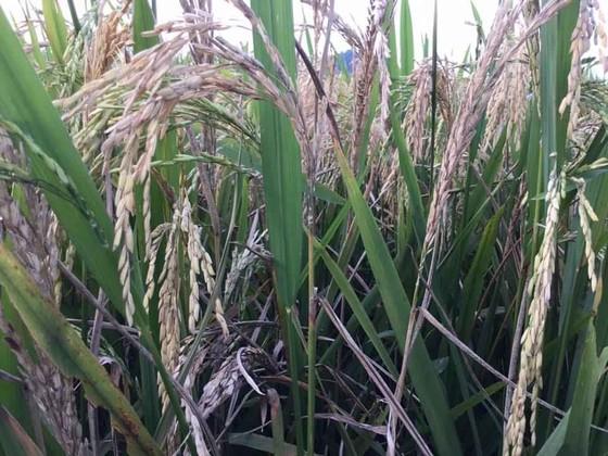 Khẩn cấp cứu 1,1 triệu ha lúa có nguy cơ mắc bệnh cháy lá ảnh 1