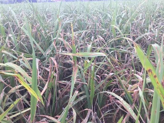 Khẩn cấp cứu 1,1 triệu ha lúa có nguy cơ mắc bệnh cháy lá ảnh 2