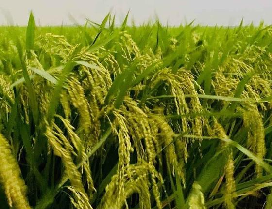Khẩn cấp cứu 1,1 triệu ha lúa có nguy cơ mắc bệnh cháy lá ảnh 3