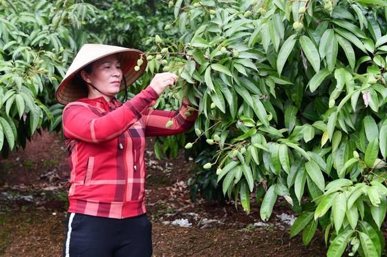 Vải thiều tươi Việt Nam lần đầu xuất khẩu sang Nhật Bản có thể 'lỡ hẹn' do dịch Covid-19 ảnh 1