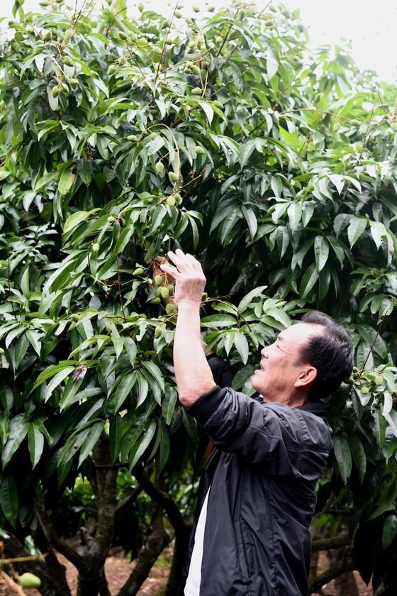 Vải thiều tươi Việt Nam lần đầu xuất khẩu sang Nhật Bản có thể 'lỡ hẹn' do dịch Covid-19 ảnh 2