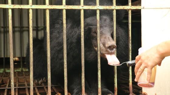 Đưa cá thể gấu nuôi nhốt cuối cùng ở tỉnh Gia Lai về Tam Đảo ảnh 1