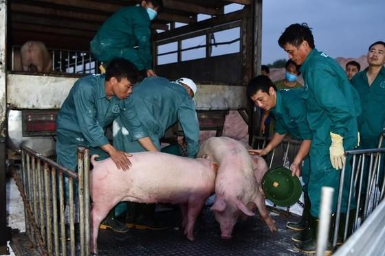 Thái Lan giảm xuất khẩu thịt heo sang Việt Nam  ảnh 1