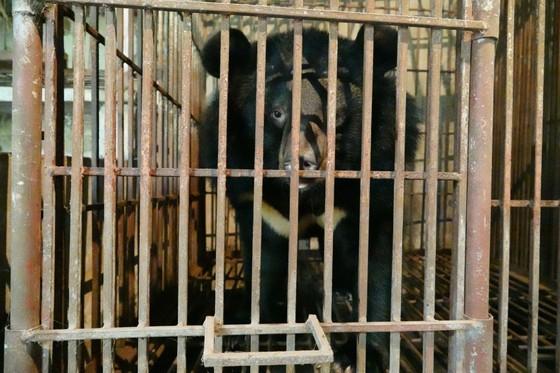 Cứu hộ 1 cặp gấu mẹ - con được nuôi sinh sản ở Việt Nam ảnh 1