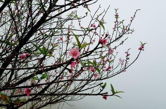 Thời tiết rất dị thường, hoa đào miền Bắc nở trước tết 3-4 tháng ảnh 3