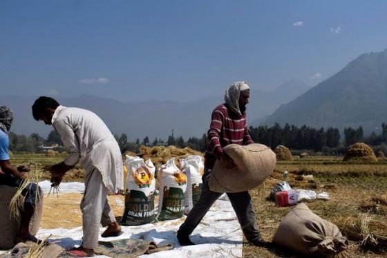 Việt Nam chỉ nhập gạo Ấn Độ để ủ bia, nấu rượu, làm thức ăn chăn nuôi ảnh 1
