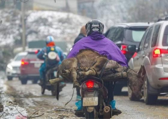 Một con nghé ở xã Y Tý (Bát Xát - Lào Cai) bị chết rét, người dân vội đưa về. Ảnh: VIẾT CHUNG