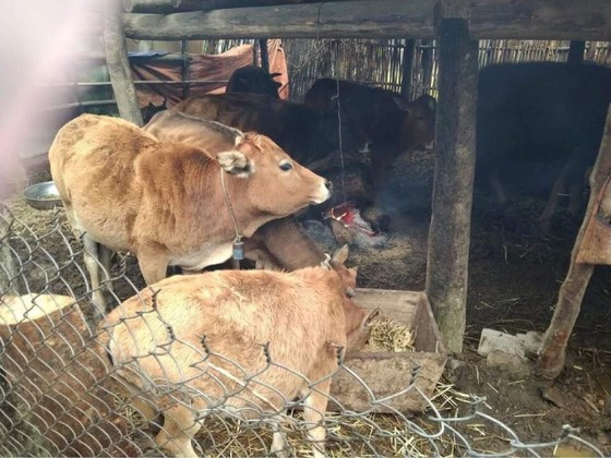 Thừa Thiên - Huế bị 'nhắc' vì để 900 con trâu, bò chết rét ảnh 4