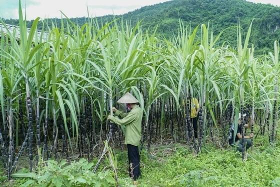 Nông dân trồng mía khó khăn vì đường ngoại ồ ạt tràn vào do được trợ cấp và bán phá giá