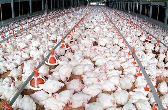 Tết năm nay, dự báo khủng hoảng thiếu thịt gà ảnh 1