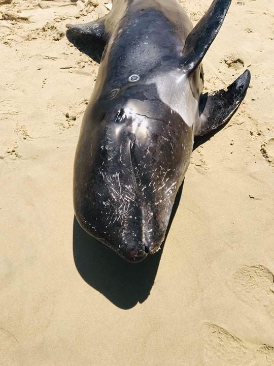 Cá voi con nặng 100kg dạt vào biển Hòn Cau ảnh 2