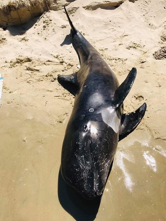 Cá voi con nặng 100kg dạt vào biển Hòn Cau ảnh 1