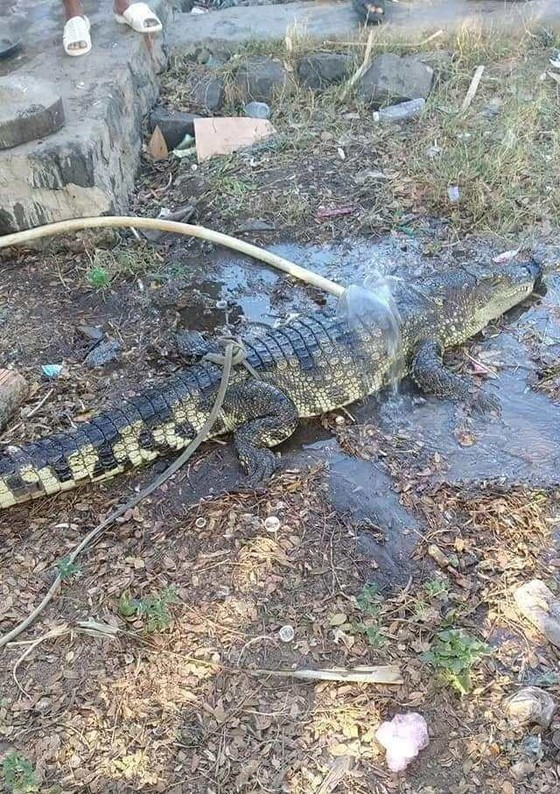 Hãi hùng phát hiện cá sấu dài gần 2m rơi trên Quốc lộ 1A ảnh 1