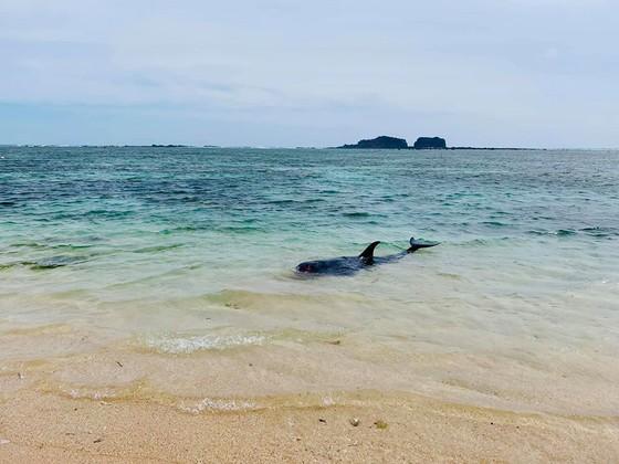 Xúc động cảnh ngư dân đảo Phú Quý giải cứu cá voi dài hơn 2m dạt vào bờ biển  ảnh 3