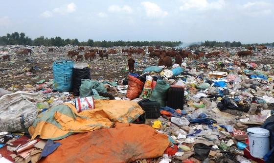 Hàng trăm con bò được chăn thả trên bãi rác lớn nhất thành phố Phan Thiết ảnh 1