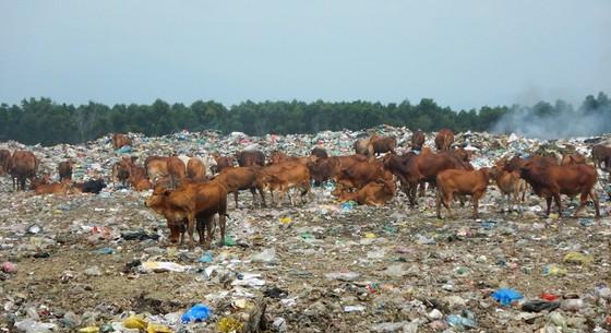 Hàng trăm con bò được chăn thả trên bãi rác lớn nhất thành phố Phan Thiết ảnh 2