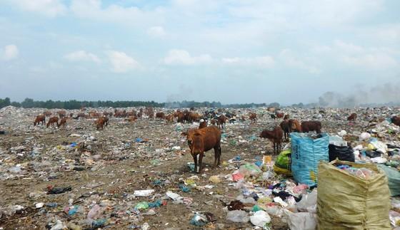 Hàng trăm con bò được chăn thả trên bãi rác lớn nhất thành phố Phan Thiết ảnh 4